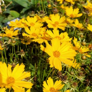 Coreopsis Flying Saucers image 1