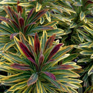 Euphorbia Ascott Rainbow Image 1