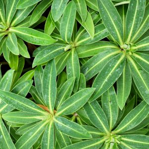 Euphorbia Honeypot