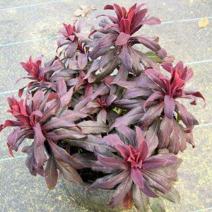 Euphorbia Ruby Glow Image 1