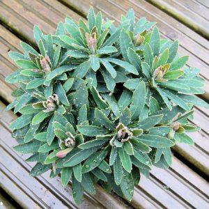 Euphorbia Tiny Tim Image 1