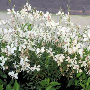 Gaura Snow Fountain 1