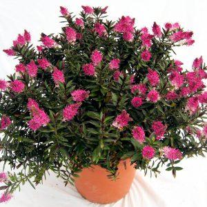 Hebe Raspberry Ripple Large Plant Image 1