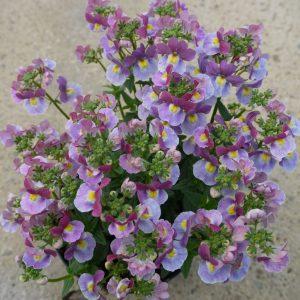 Nemesia Lilac Queen Square