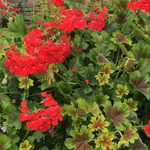 Pelargonium Goldi Dark Star Scarlet Square