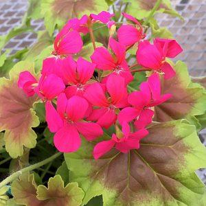 Pelargonium Goldi Dark Star Violet Square