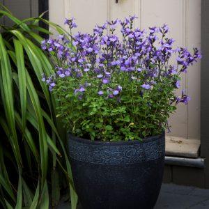 Salvia So Cool Pale Blue Square