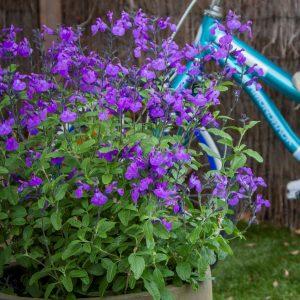 Salvia So Cool Purple Square